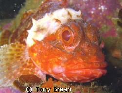 Dwarf Scorpion fish on Okiparu reef just off Motiti Islan... by Tony Breen