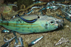 cleaner wrasse feeding on DYNAMITED fish... :-( by Adriano Trapani
