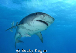 Tiger shark swims overhead by Becky Kagan