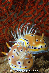 Couple of Chromodoris geminus. Picture taken on the secon... by Anouk Houben