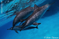 Sweet Dolphins!! by Victor Tabernero