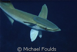 Large Remora by Michael Foulds