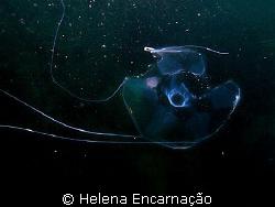 Deep delicacy. Medusae Geryonia proboscidalis. by Helena Encarnação