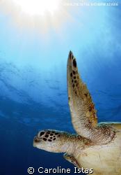 Turtle by Caroline Istas