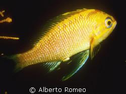 Anthias anthias. 45 meter deep Tyrrhenian sea. Nikon 801s... by Alberto Romeo