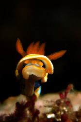 Chromodoris annae stretching out to me by Michel De Ruyck