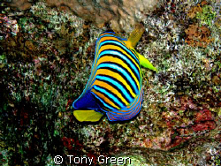 This amazing fish i think its a Emperor great against the... by Tony Green