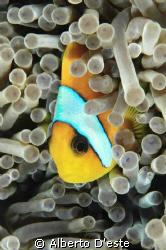 Clownfish in night dive, Nikon D70S, 105mm, DS160 by Alberto D'este