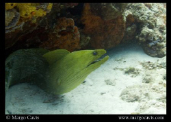 Large green eel in Cozumel, Mexico. Shot with Canon Rebel... by Margo Cavis