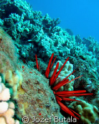 Slate pencil sea urchin by Jozef Butala