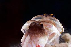 Open up Wiiiiiide. Jawfish fighting with itself in a mirror by Erika Antoniazzo