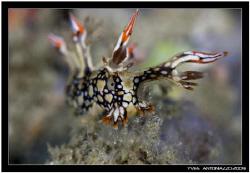 Portrait of a bornella anguilla..............Fuji S5 pro/... by Yves Antoniazzo