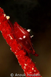 Tiny snail on a whip coral. Picture taken on the second r... by Anouk Houben
