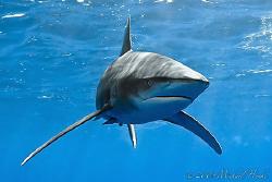 Oceanic Whitetip Shark - Deadalus Reef - Canon G7 by Michael Henke