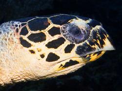 Portrait of a Hawksbill turtle (Canon G9, Inon D2000w) by Marco Waagmeester