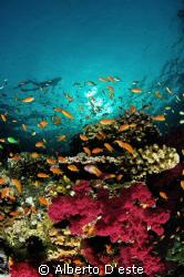 Coral Garden in Farasan Banks by Alberto D'este