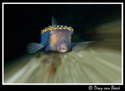 Speedy boxfish. by Dray Van Beeck