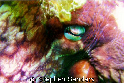 this is a octopus in hood canal washington photo was took... by Stephen Sanders