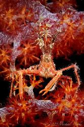 Bull crab (Naxioides taurus) by Michael Henke