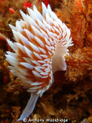 Silver Nudibranch taken at Gasmic Gorge in Port Elizabeth... by Anthony Wooldridge