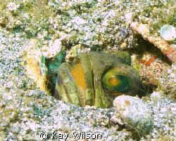 Jaw fish, with eggs. by Kay Wilson