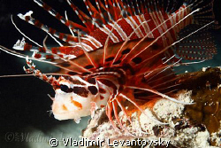 Spotfin Lionfish at night. Canon XSi / EF-S 17-85mm / Ike... by Vladimir Levantovsky