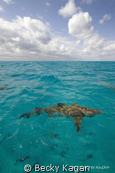 A 10ft lemon shark swims in the clear bahamian waters off... by Becky Kagan