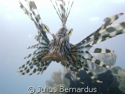 Lionfish taken with Sony Cybershot DSC-W7 by Julius Bernardus