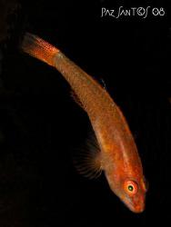 A tiny goby perched on a black tube coral. by Paz Maria De Vera-Santos