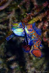 Mating Mandarinfish (Pterosynchiropus splendidus) - Canon... by Michael Henke