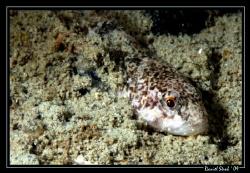A young european Bullhead hiding in the sand. Night dive ... by Daniel Strub