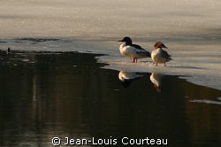 """Surface Interval""    A couple of mergansers, excellent d... by Jean-Louis Courteau"