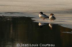 """Surface Interval""    A couple of mergansers, excellent d... by Jean-Louis Courteau"