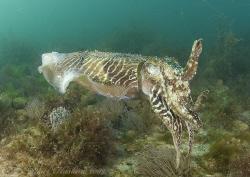 Cuttlefish. Babbacombe. Devon. D200, 16mm. by Derek Haslam