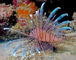 Lion Fish shot off the coast of Bali.  I used a NikonosV ... by John Harrison