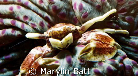 Anomone Crab on the underside of a closed Anomone.  The u... by Marylin Batt