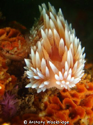 A silver Nudibranch taken at Three Sisters with a Sony W3... by Anthony Wooldridge