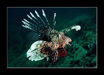 It appears to me that Lionfish are aware of their own poi... by Johannes Felten