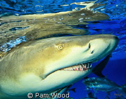 Up close and personal with the Lemon Shark. by Pam Wood