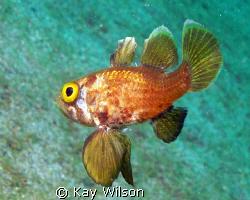 Black Fin Cardinal fish by Kay Wilson