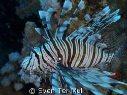 lion fish  Olympus E410 camera 12-42 lens by Sven Ter Mul