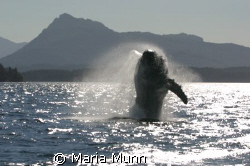 Baby Humpback Whale called Houdini breaching at Johnstone... by Maria Munn