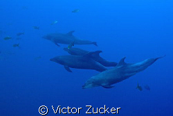 dolphins on the hunt by Victor Zucker