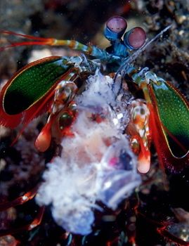 Feeding mantis , KBR , Indonesia.F100 & 105mm by Gregory Grant