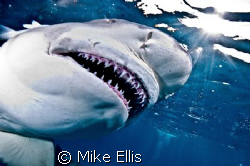 Sharks+Bait=great shots. Tiger beach ,Little Bahamas bank... by Mike Ellis