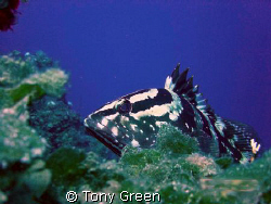 Nassau grouper peaking on a coral out crop on a wall dive... by Tony Green