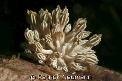 this nudibranch is mimicing softcoralpolyps .... amazing ... by Patrick Neumann