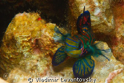 """""""I am bigger than you think!"""" Male mandarin fishes are ve... by Vladimir Levantovsky"""