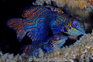 Mandarin Fish, On Sahara reef, Dumagete,Philippines. by Patrick Smith