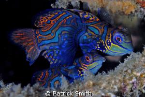 Mandarin Fish, On Sahara reef, Dumagete,Philippines. by Patrick Smith